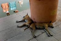 寝る二匹の犬