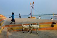 ガンジス川、ガートの犬と人々