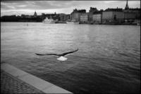 川沿いを飛ぶカモメ