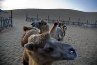 早朝砂漠のラクダ