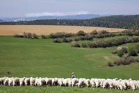 羊の放牧 02265041201| 写真素材・ストックフォト・画像・イラスト素材|アマナイメージズ