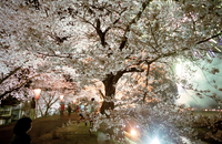 JAPAN. Kisuki. The town of Kisuki has been designated as one of the 100 best cherry blossom locations in Japan. 2000 trees are p