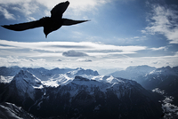 ITALY. Trentino. 2010. Above Val di Fassa and Canazei, at the peak of Sass Pordoi (2952m) a bird flies above the mountain landsc 02265045083| 写真素材・ストックフォト・画像・イラスト素材|アマナイメージズ