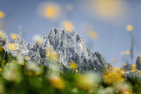 ITALY. 2009. Trentino. Flowers in a meadow in front of the Pale di San Martino.