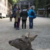 Japan. Nara. 2014. Deer at Kasuga Taisha Shrine. 02265047246| 写真素材・ストックフォト・画像・イラスト素材|アマナイメージズ