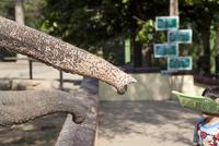 MYANMAR. YANGON. Zoo. Elephants. 02265047446| 写真素材・ストックフォト・画像・イラスト素材|アマナイメージズ