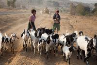 MYANMAR. Farming work herding goats between Meiktila and Magway. 02265047447| 写真素材・ストックフォト・画像・イラスト素材|アマナイメージズ