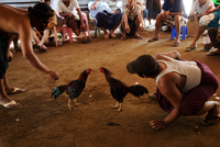 MYANMAR. YANGON. Cock fighting enthusiasts. 2013. 02265047471| 写真素材・ストックフォト・画像・イラスト素材|アマナイメージズ