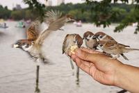 JAPAN. TOKYO. Feeding sparrows in Ueno Park.  2013. 02265047484| 写真素材・ストックフォト・画像・イラスト素材|アマナイメージズ