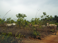 GUINEA. April 18, 2013. Cattle on a field near the town of Kankan in south-east Guinea. 02265047593| 写真素材・ストックフォト・画像・イラスト素材|アマナイメージズ