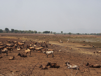 GUINEA. April 18, 2013. Cattle on a field near the town of Kankan, south east Guinea. 02265047594| 写真素材・ストックフォト・画像・イラスト素材|アマナイメージズ