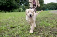 公園を歩く犬(ゴールデンレトリーバー) 02266007485| 写真素材・ストックフォト・画像・イラスト素材|アマナイメージズ