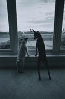 室内から外を見る2匹の犬 B/W