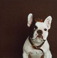 チェリー付きの針金製の冠をかぶり首輪をしたフレンチブルドック