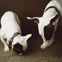 匂いを嗅ぐ二匹の犬(フレンチブルドック・ブルテリア)