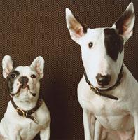 首輪をした二匹の犬(フレンチブルドック・ブルテリア)