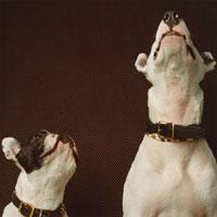 上を見上げる二匹の犬(フレンチブルドック・ブルテリア)