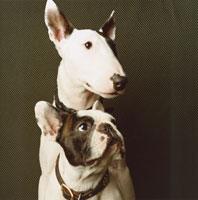 二匹の犬(フレンチブルドック・ブルテリア)