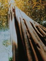 アマゾンの木 ブラジル
