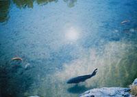 鯉 02279000036  写真素材・ストックフォト・画像・イラスト素材 アマナイメージズ