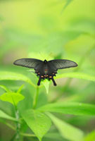 黒いアゲハ蝶