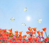 チューリップと蝶々 02284001263| 写真素材・ストックフォト・画像・イラスト素材|アマナイメージズ