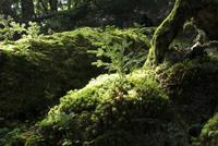 シラビソの原生林の幼木