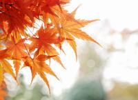 紅葉したもみじの葉 02285000447  写真素材・ストックフォト・画像・イラスト素材 アマナイメージズ