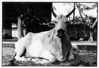 寝そべる牛 B/W バンコク タイ