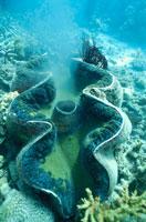 オオシャコガイの産卵 夏 水中撮影 オーストラリア