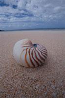 砂浜のオウムガイの仲間 モートン島 オーストラリア