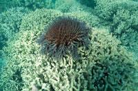 海中のオニヒトデ 水中撮影 オーストラリア