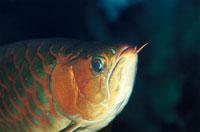 古代魚のシルバーアロワナのアップ 水中撮影 日本