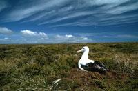 巣で卵を抱えるシロホウドリ 夏 エンダービー島 南極海