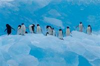 氷山のアデリーペンギンの群れ 夏 ポーレット島 南極