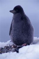 アデリーペンギンのヒナ 夏 南極