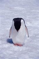 下を向くアデリーペンギン 夏 南極