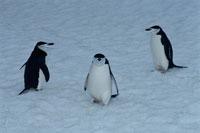 チンストラップペンギンの成鳥の群れ 夏 南極
