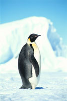 エンペラーペンギンの成鳥 夏 アマンダ湾 南極