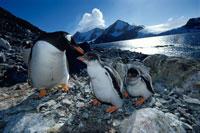 巣のジェンツーペンギンの親子たち 夏 南極