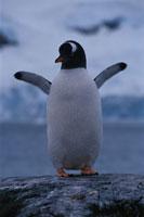 羽を広げるジェンツーペンギンの成鳥 夏 南極