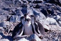 クレイシのジェンツーペンギンのヒナ 夏 南極