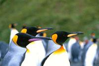 キングペンギンの成鳥の群れ 夏 マッコーリー島