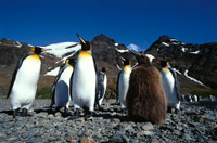 キングペンギンの親子と群れ 夏 サウスジョージア島