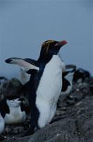 羽を広げるマカロニペンギンとチンストラップペンギン 南極