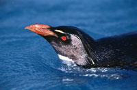 泳ぐロックホッパーペンギンの成鳥 オークランド諸島