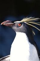 ロックホッパーペンギンの成鳥 オークランド諸島