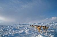 雪原でのシベリアンハスキーの犬ぞり チャーチル カナダ