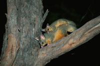 フクロギツネの親子がいる夜景 オーストラリア