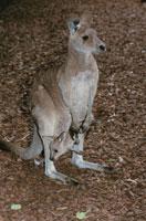 アカカンガルーの親子 オーストラリア